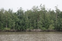 Mangrove Forest in Pongara National Park. The trees measured in this area had canopy heights over 45 m.