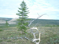 A solitary Larix gmellini stands beside relic wood and sun-bleached reindeers antlers on a plateau above the Kotuykan River.