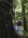Guoqing Sun measures the diameter of an enormous specimen in Corcovado National Park on Costa Rica's wild Osa Peninsula in March 2014.