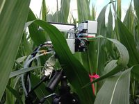 The instrument head of the LiCor 6400 Portable Photosynthesis System is clamped to a corn leaf to measure its photosynthetic response. These measurements are compared to optical measurements of the leaves as part of the Spectral Bio-Indicators study lead by Dr. Elizabeth Middleton (NASA, Code 618).