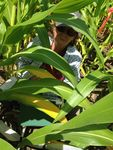 Dr. Elizabeth Middleton (NASA, Code 618) measures corn leaf photosynthesis to examine the responses of leaves to different applications of nitrogen fertilizer.