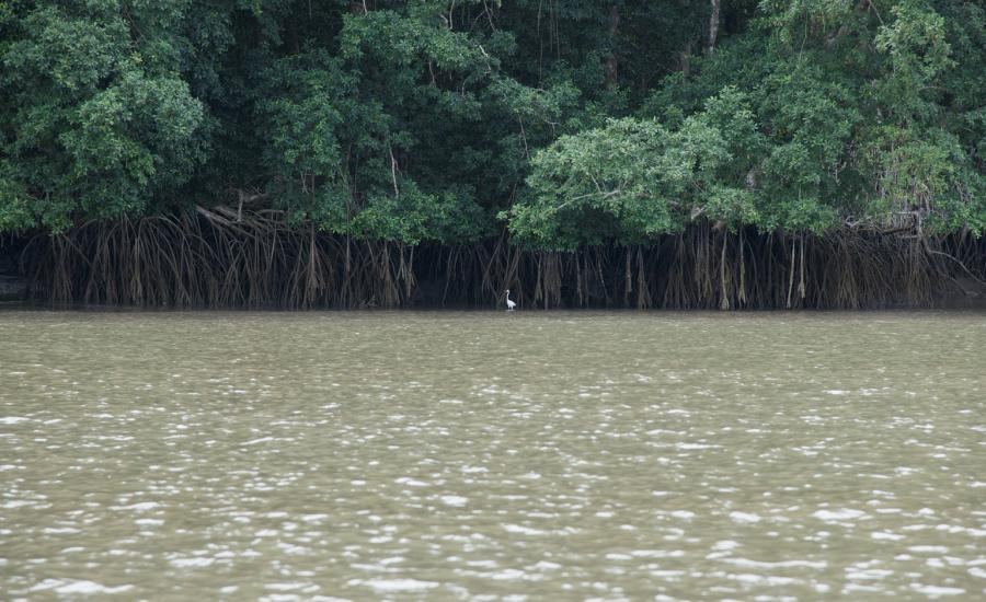 White heron stanging infront of mangrove prop roots.